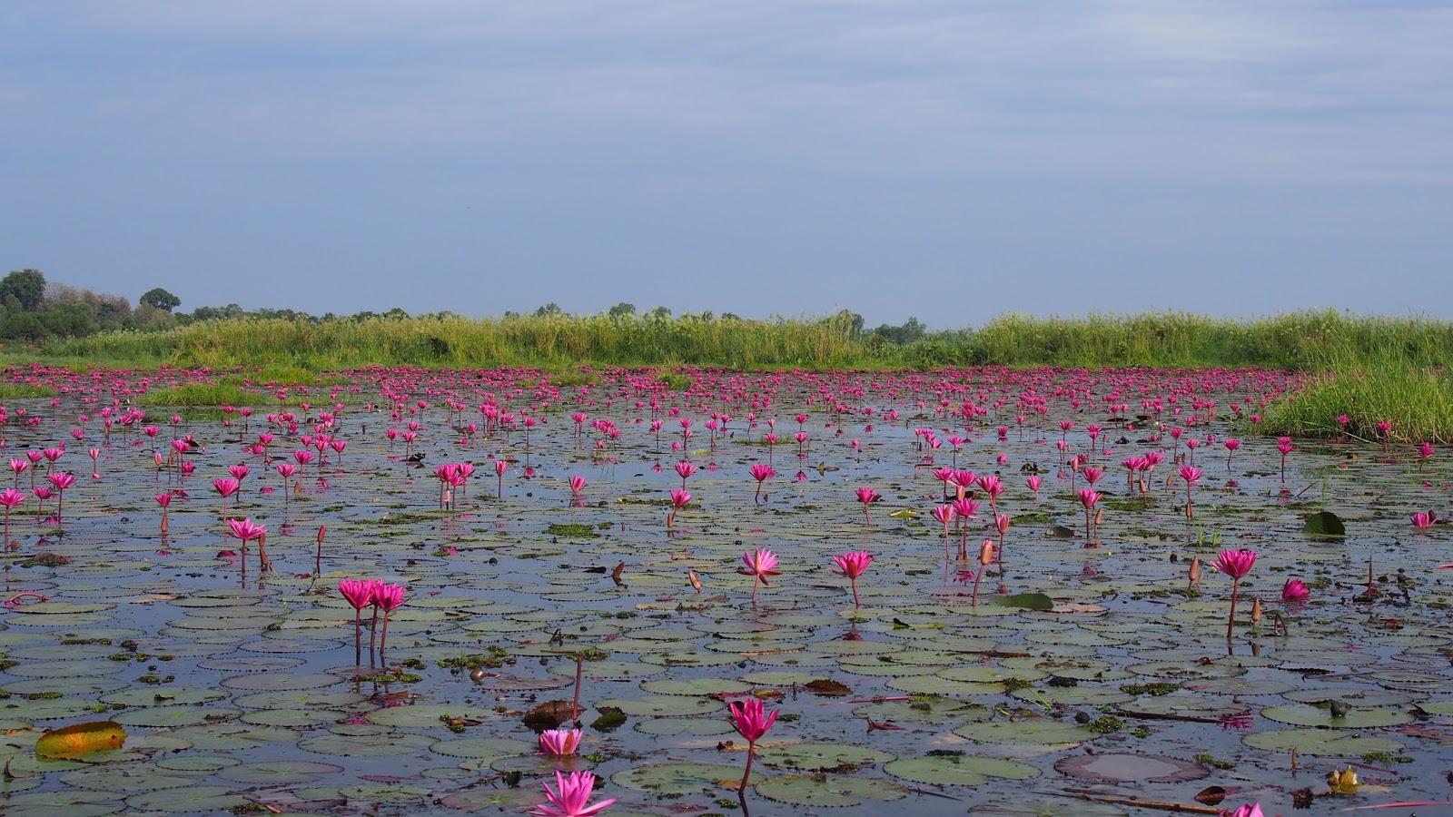 Flores de loto en Tailandia (2)