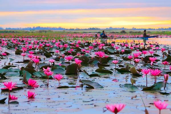 Flores de loto en Tailandia (3)