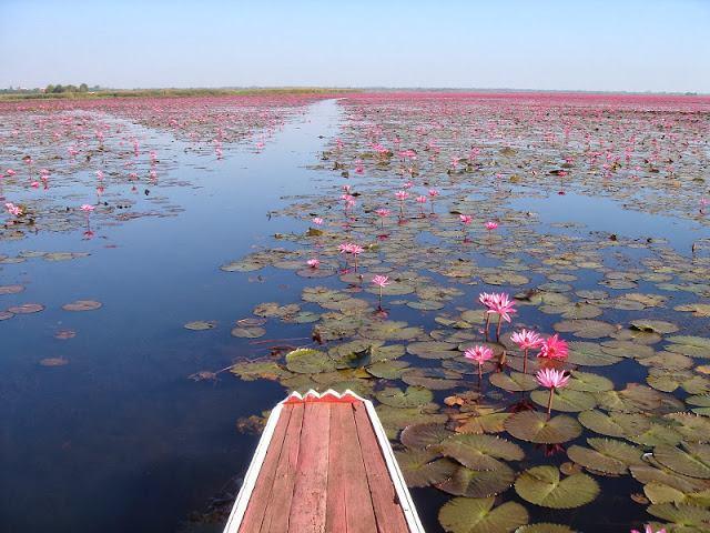 Flores de loto en Tailandia (4)