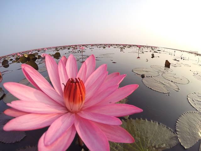 Flores de loto en Tailandia (5)