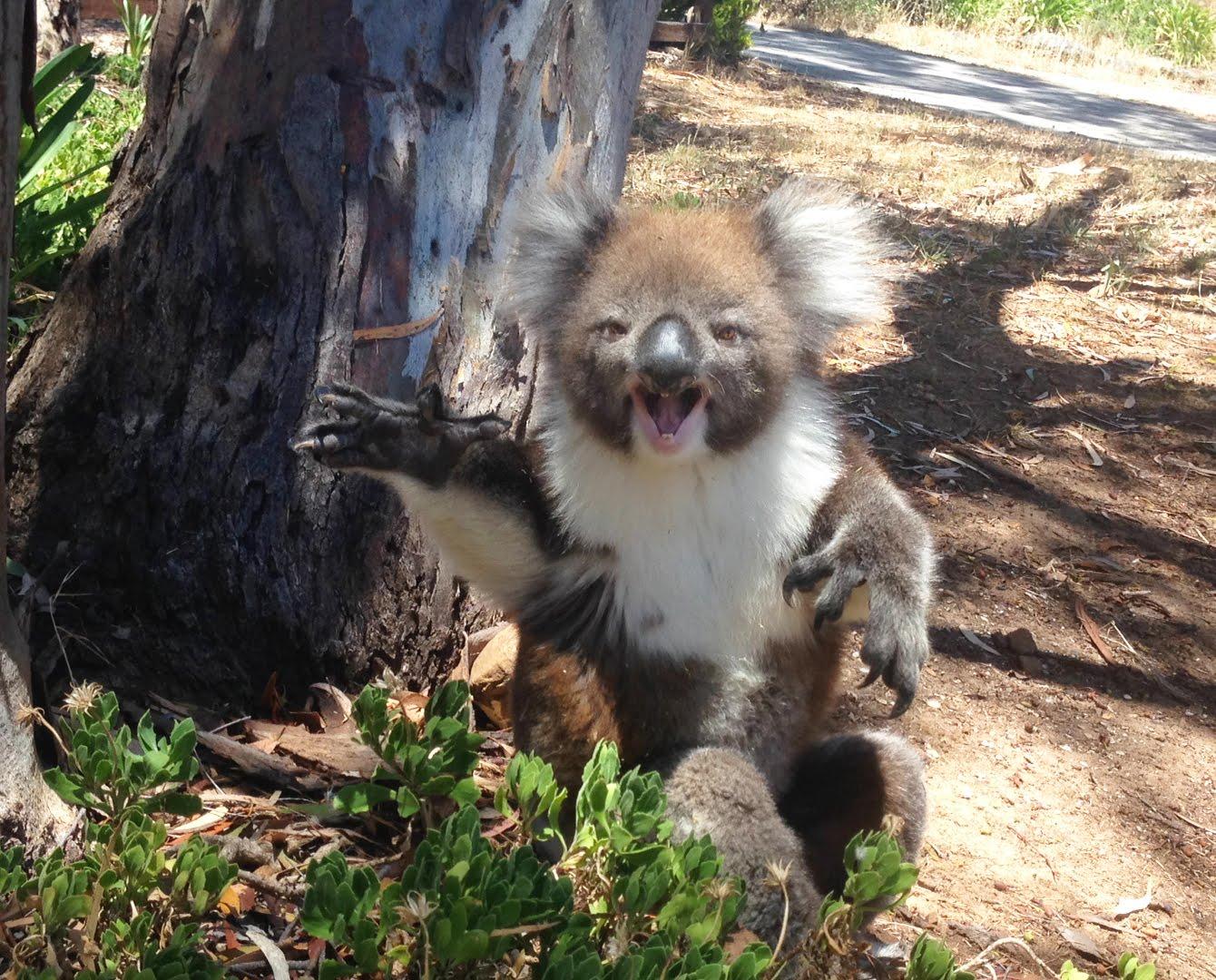 koala_llanto