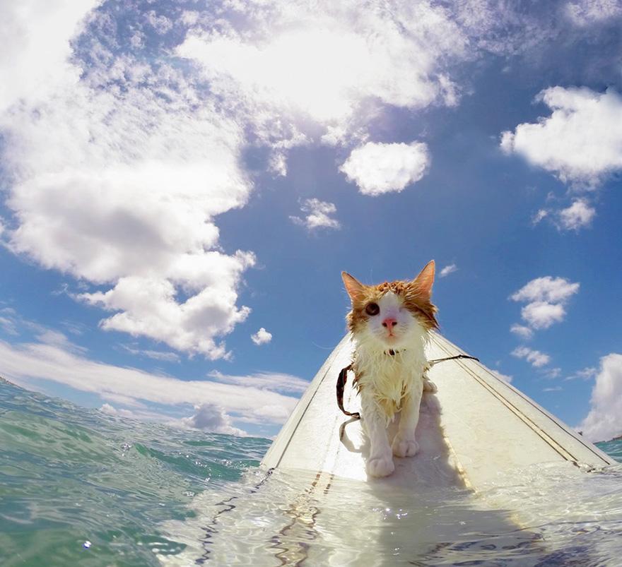 surfing-cat-likes-water-swimming-kuli-hawaii-17
