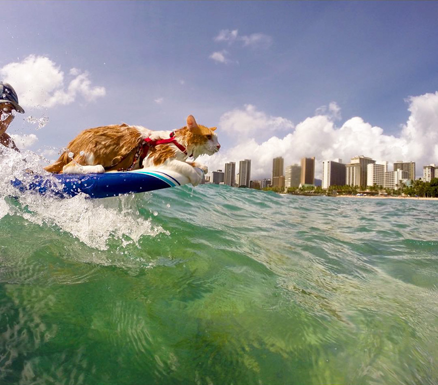 surfing-cat-likes-water-swimming-kuli-hawaii-6