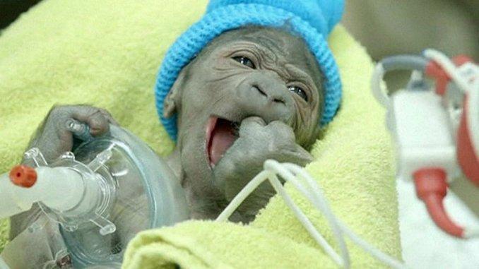 gorila bebe
