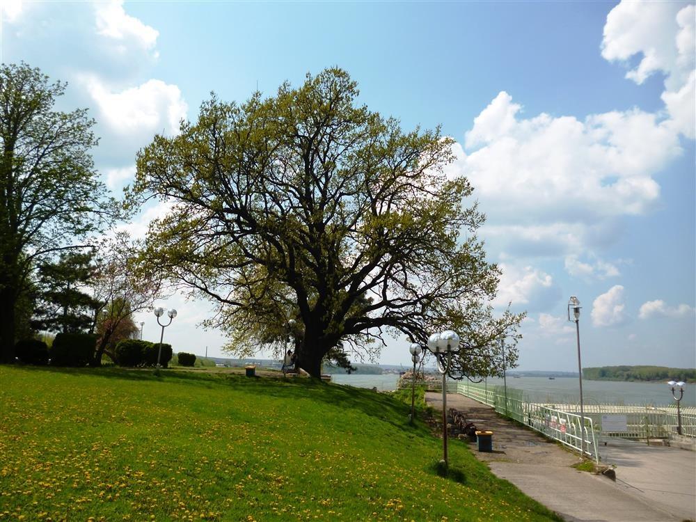 Roble del Parque del Danubio en Silistra, Bulgaria