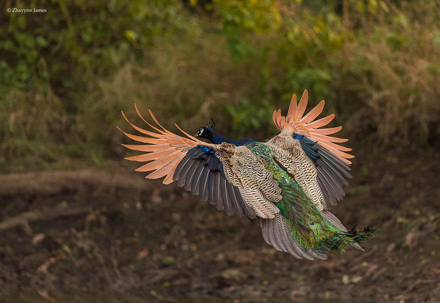 flying-peacock-13
