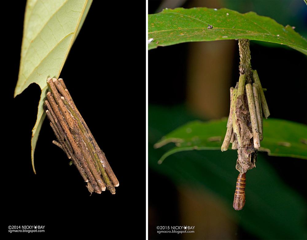 """La larva de la oruga de """"saquito"""" construye su capullo con seda y materiales de su entorno"""