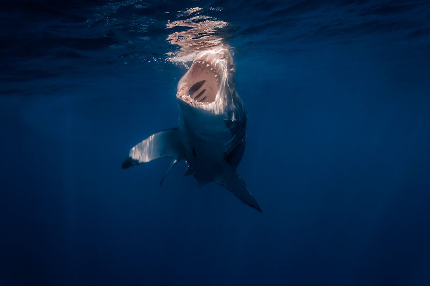 Really-great-white-sharks-I-photograph-sharks-in-a-hopefully-non-scary-way-__880
