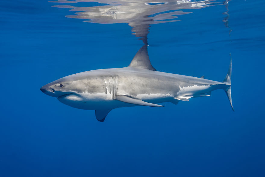 Really-great-white-sharks-I-photograph-the-species-in-a-hopefully-non-scary-way-12__880