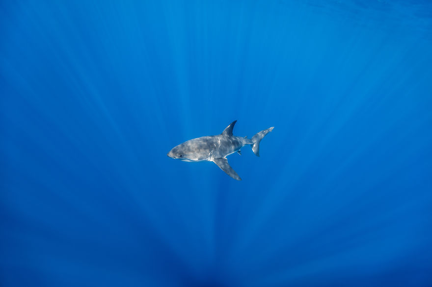 Really-great-white-sharks-I-photograph-the-species-in-a-hopefully-non-scary-way-14__880