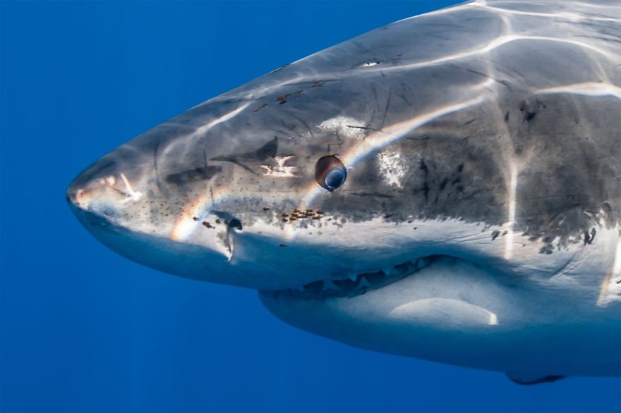 Really-great-white-sharks-I-photograph-the-species-in-a-hopefully-non-scary-way-16__880