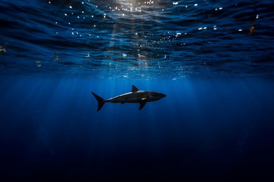 Really-great-white-sharks-I-photograph-the-species-in-a-hopefully-non-scary-way-2__880