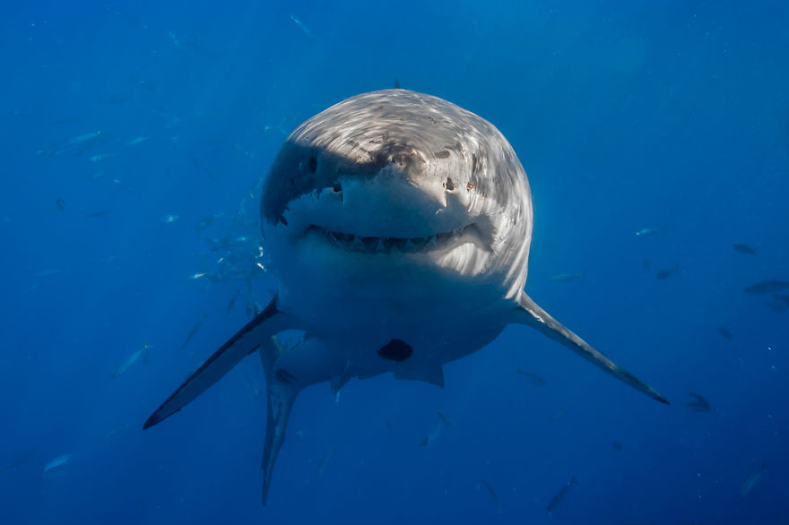 Really-great-white-sharks-I-photograph-the-species-in-a-hopefully-non-scary-way-4__880