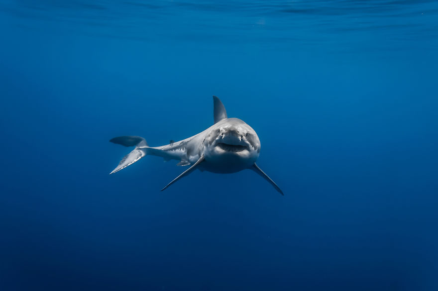 Really-great-white-sharks-I-photograph-the-species-in-a-hopefully-non-scary-way-6__880