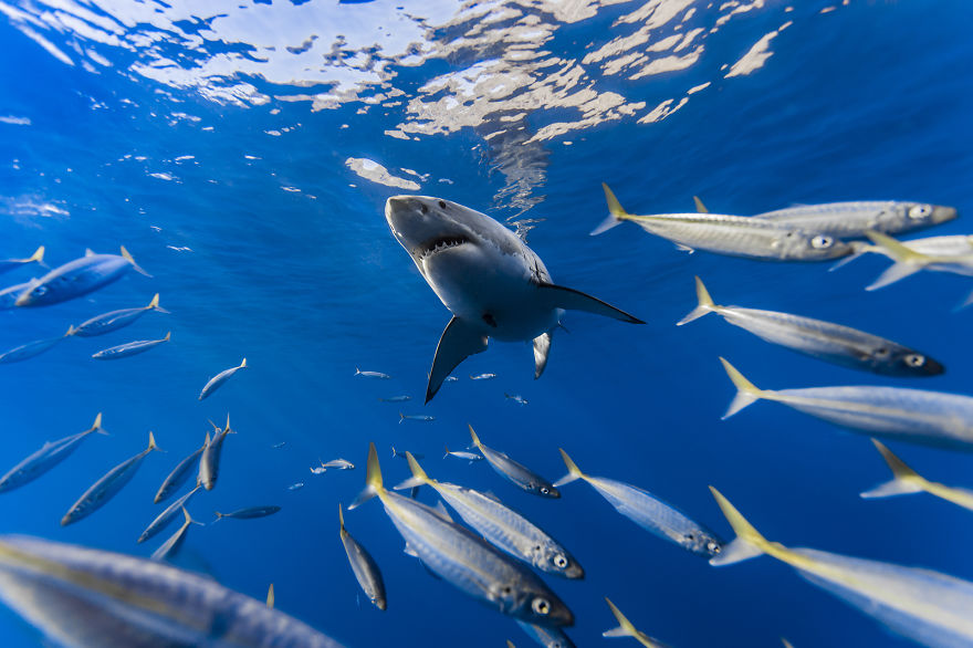 Really-great-white-sharks-I-photograph-the-species-in-a-hopefully-non-scary-way-9__880