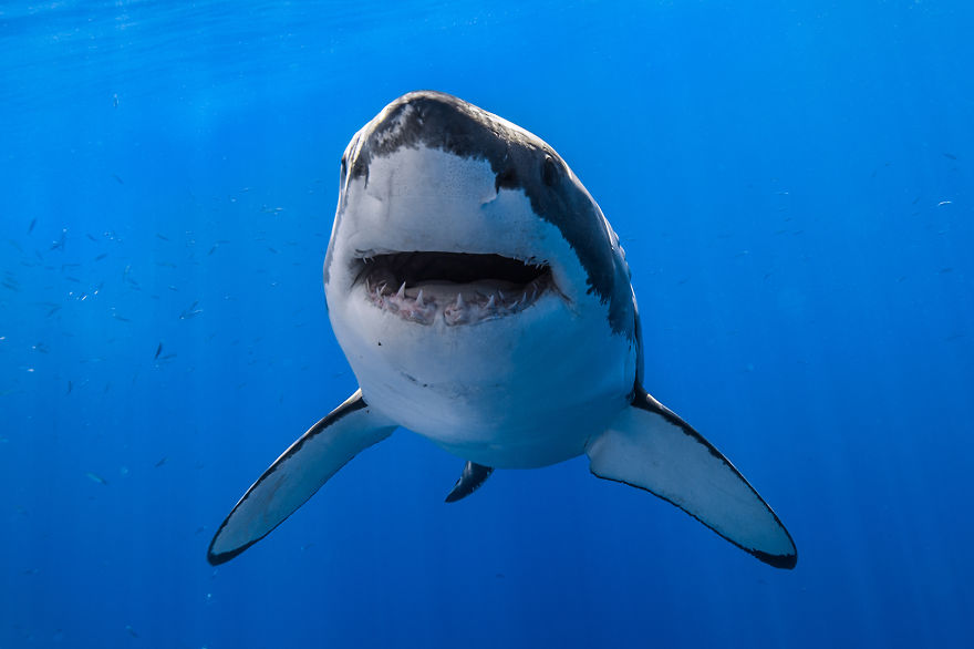 really-great-white-sharks-i-photograph-the-species-in-a-hopefully-non-scary-way__880