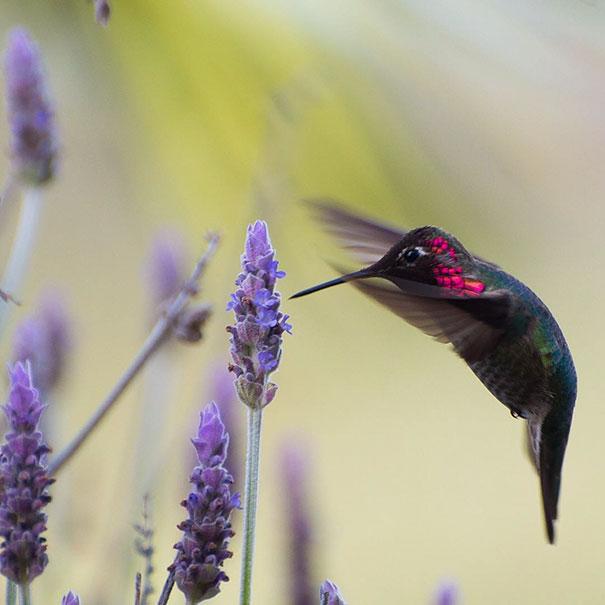 colibri (2)
