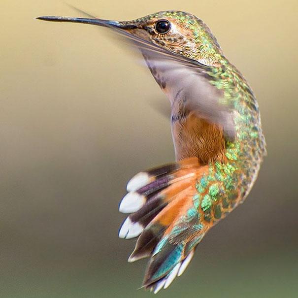 colibri (3)