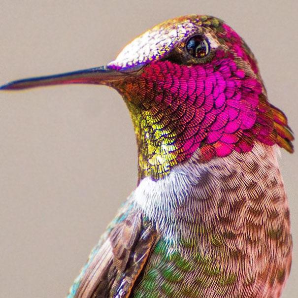 colibri (8)