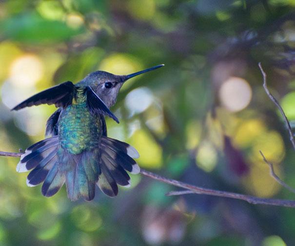colibri (9)