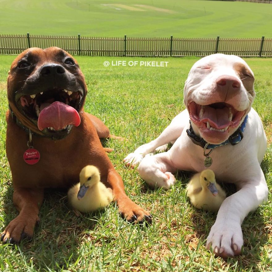 my-rescue-dogs-pikelet-patty-cakes-love-their-new-rescue-foster-ducklings-penguin-popinjay-6__880