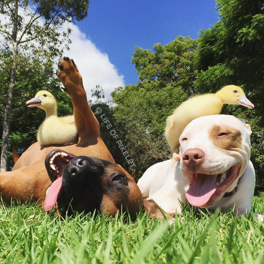 My-rescue-dogs-Pikelet-Patty-Cakes-love-their-rescue-foster-ducklings-Penguin-Popinjay1__880