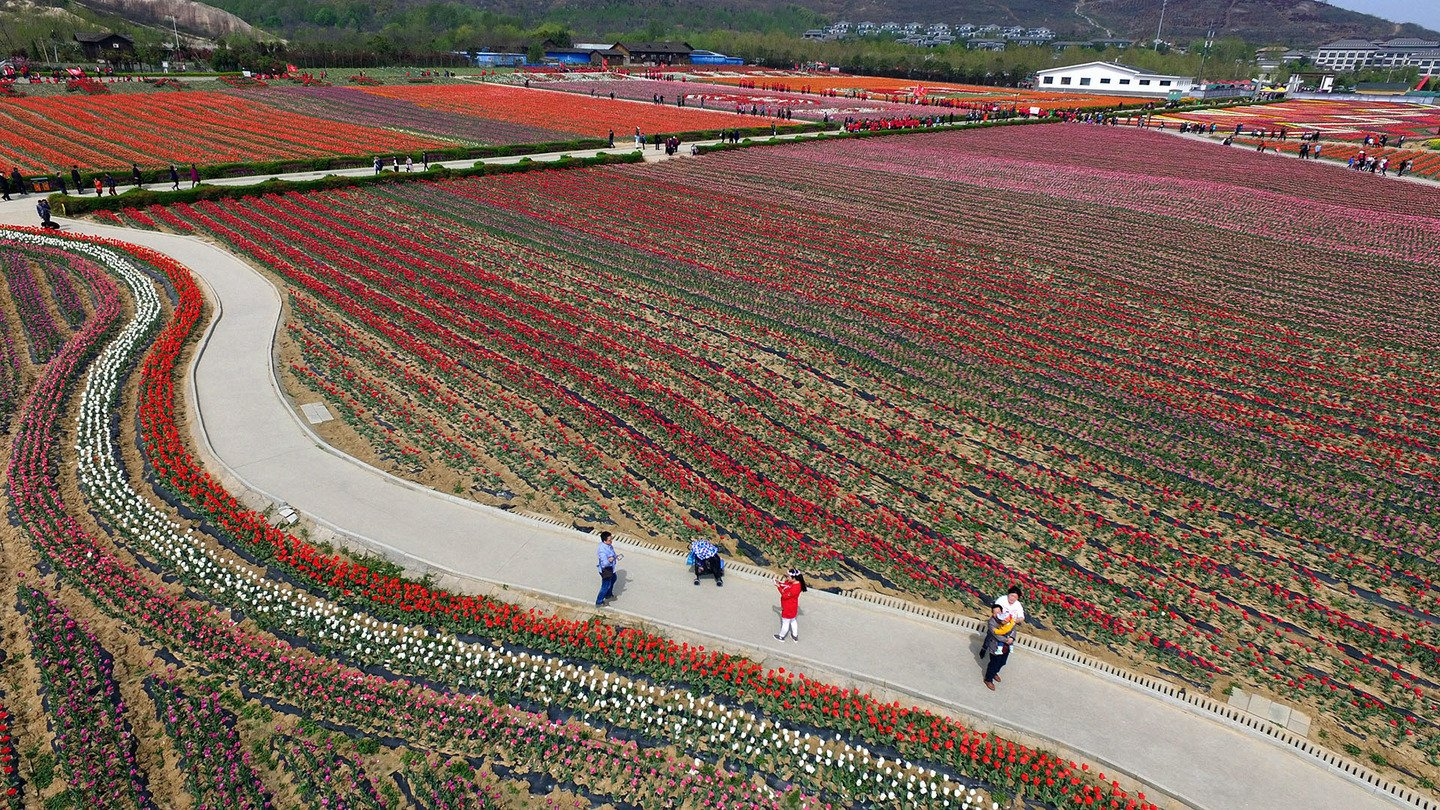 Aerial View Of Tulips In Zhumadian