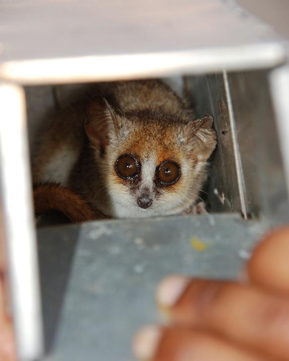 lemur pequeño1