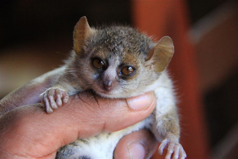 lemur pequeño2