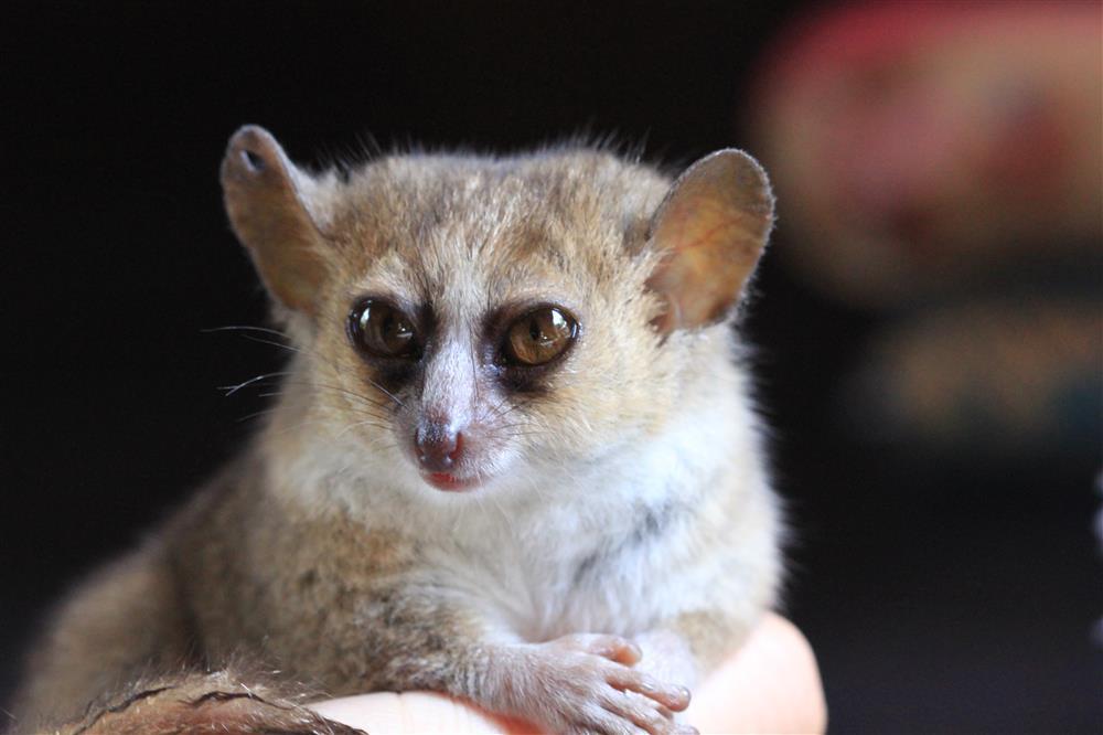 lemur pequeño3