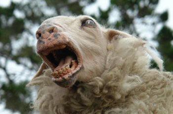 ovejas-drogadas
