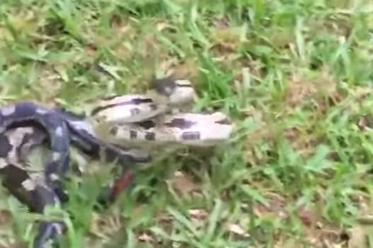 ataque serpiente