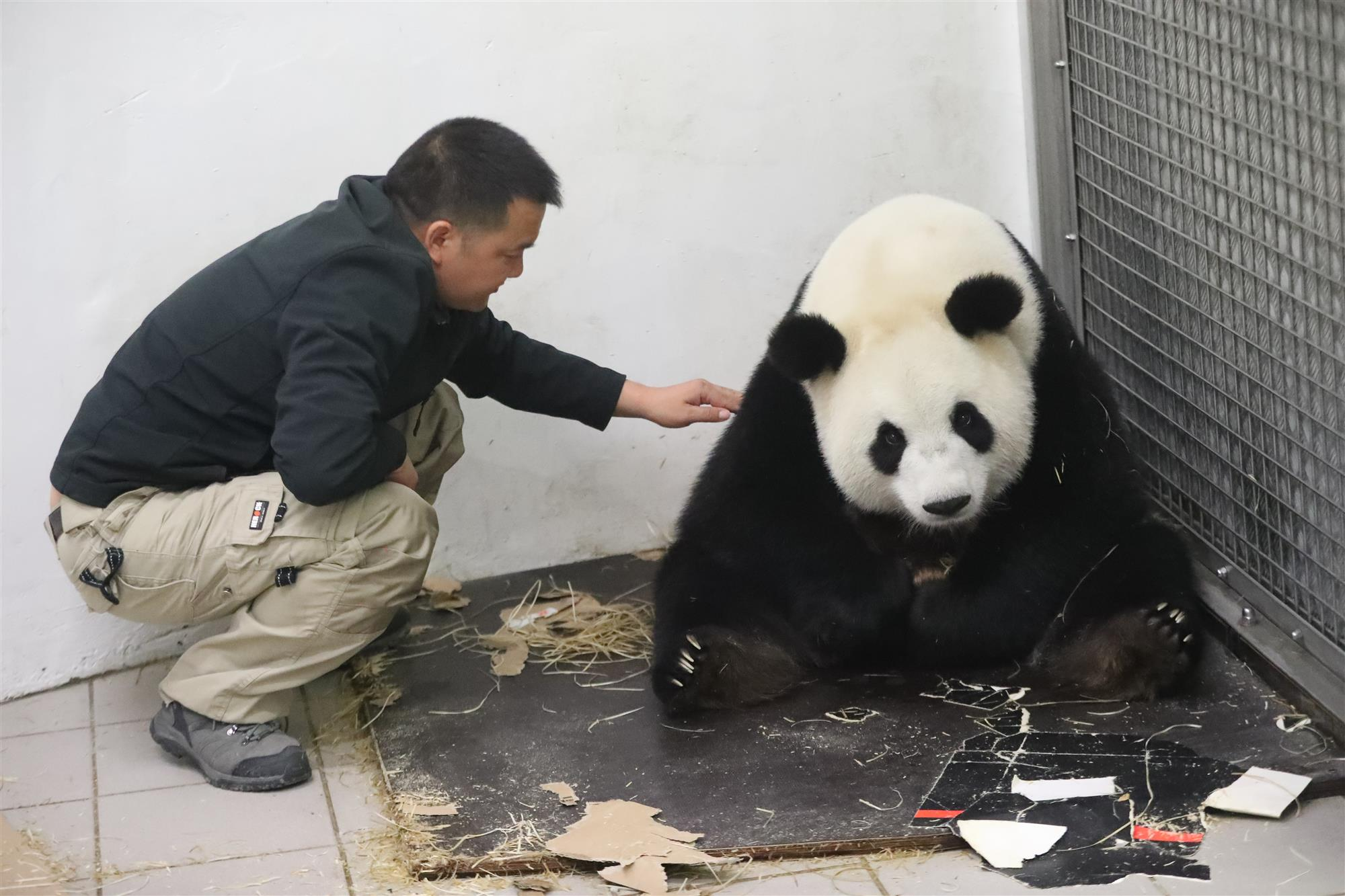 panda gigante bebe2