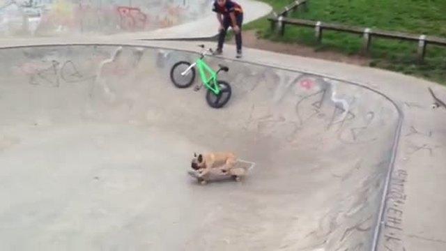 Skateboarding French Bulldog shows off impressive moves