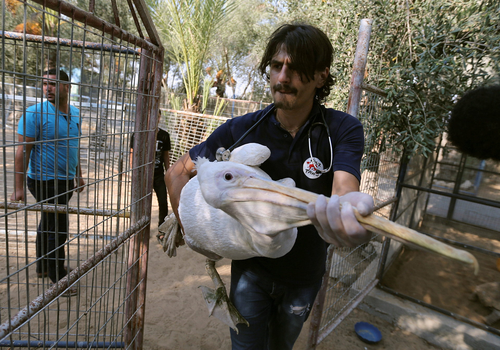 Member of Four Paws International team carries a pelican to be taken out of Gaza, at a zoo in Khan Younis in the southern Gaza Strip