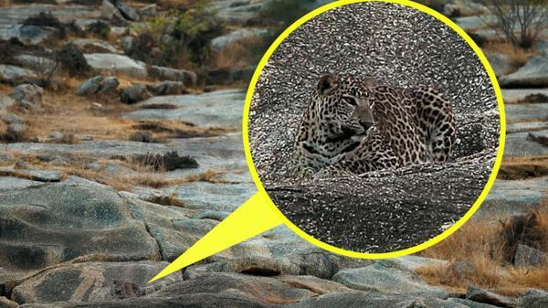leopardo entre piedras1
