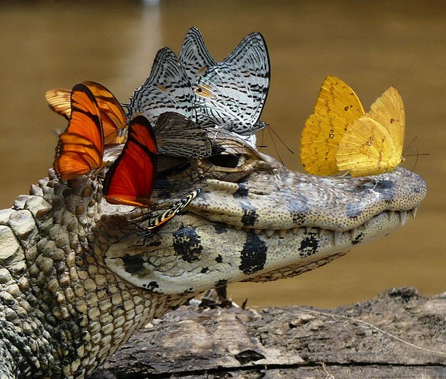 mariposas-bebiendo-lagrimas-caiman-mark-cowan-1