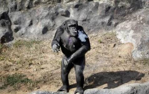 chimpance fuma2