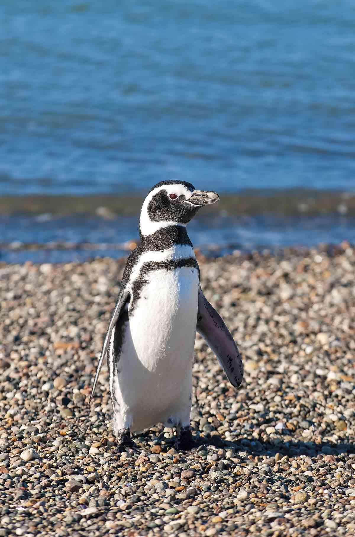 El pingüino de magallanes o también llamado patagónico, habita en el sur de Argentina y en las Islas Malvinas. No miden más de medio metro y sus condiciones físicas están adaptadas a las bajas temperaturas, que soportan gracias a una gruesa capa de grasa que envuelve su cuerpo y les permite mantener el calor.