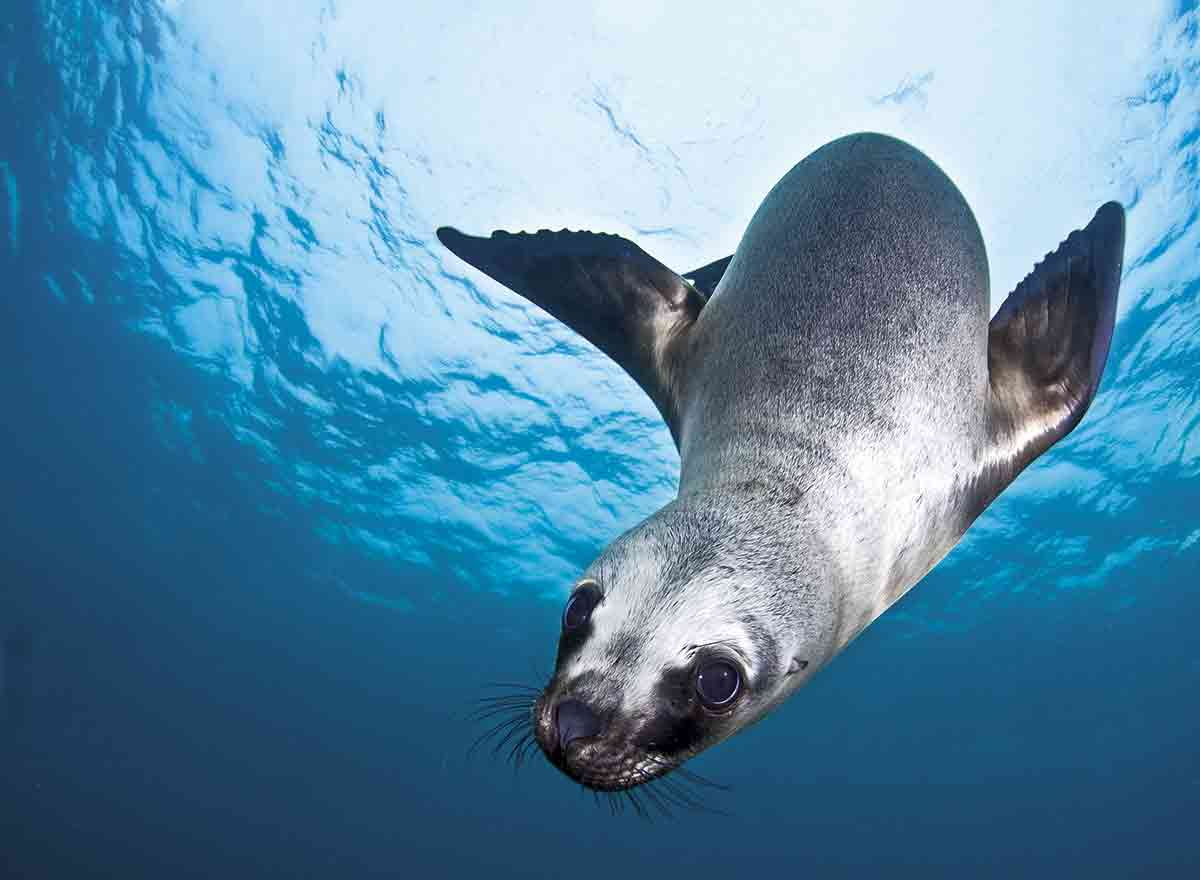 Los leones marinos son de los pocos mamíferos adaptados al medio acuático. Por lo general habitan aguas frías, por lo que bajo la piel tienen una capa de grasa que les ayuda a mantener la temperatura de su cuerpo.
