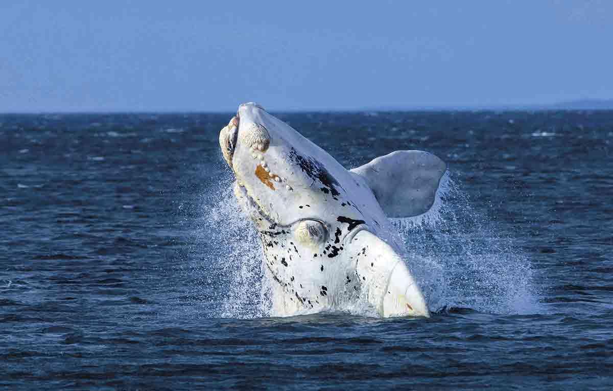 La ballena franca puede llegar a medir unos 16 metros de largo aproximadamente y es uno de los animales más populares de los avistamientos en la Patagonia. La mejor época es durante el invierno del hemisferio sur.