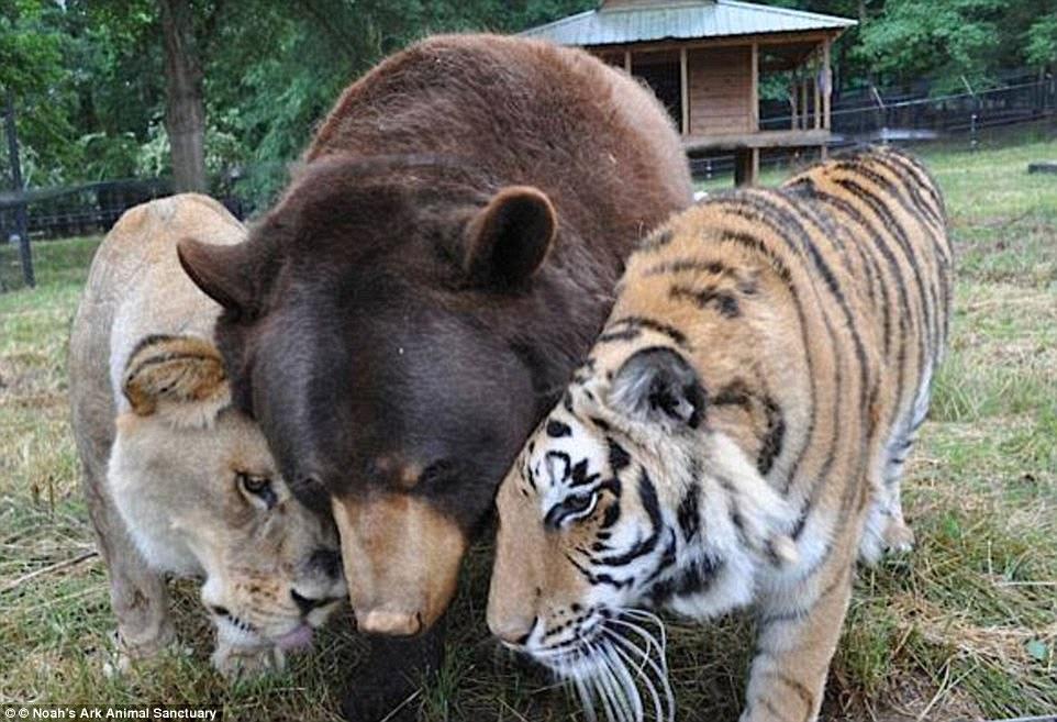 3EF0498C00000578-4379890-Baloo_the_American_black_bear_Leo_the_African_lion_and_Shere_Kha-a-64_1491379088165