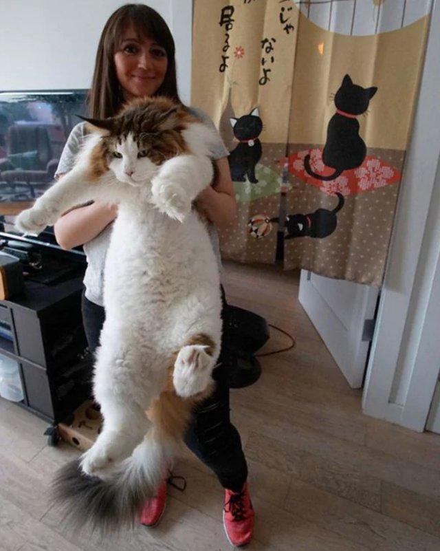 gato enormeç