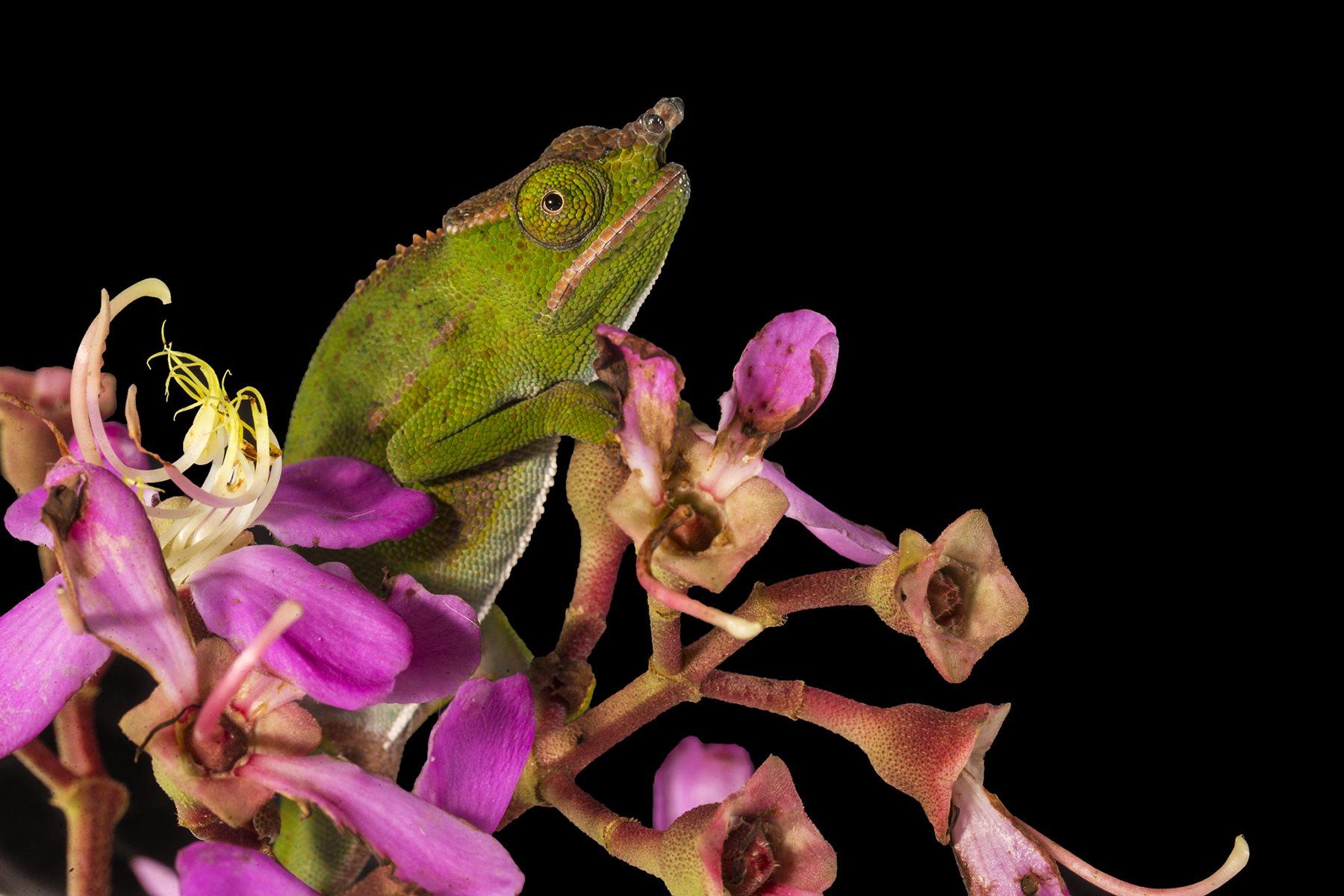 Un camaleón de dosel se aferra a un racimo de flores.