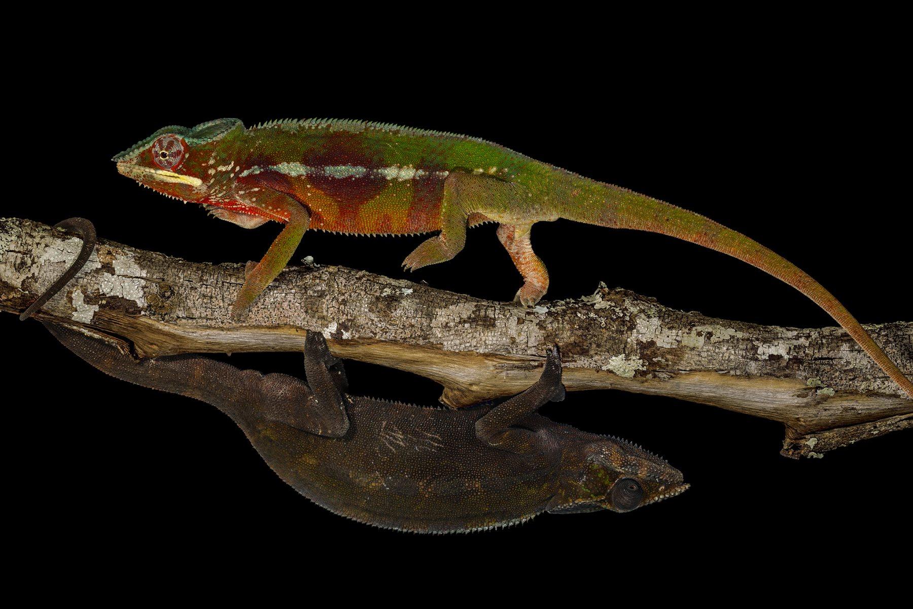Tras disputarse una hembra, el macho de camaleón pantera victorioso sigue exhibiendo sus colores de combate, mientras que el derrotado ha adoptado el tono oscuro de la sumisión.