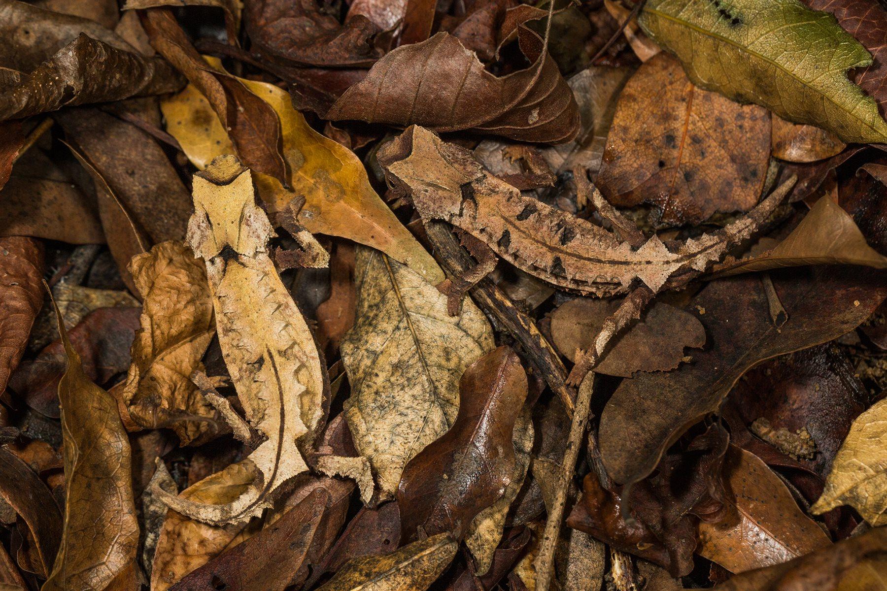 Dos ejemplares de Brookesia decaryi apenas se distinguen de un montón de hojas.