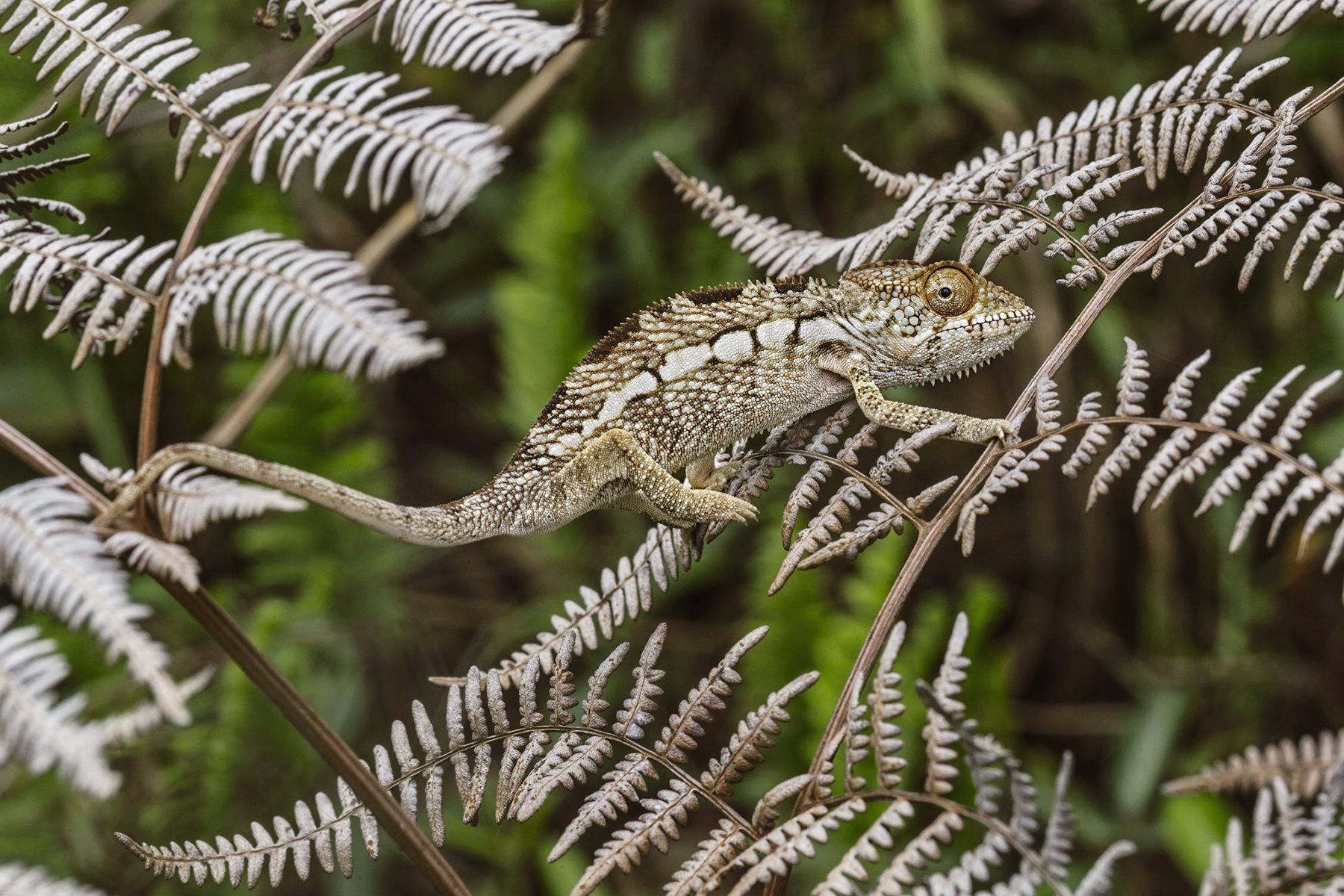 Cuanto mejor se camufle en su entorno, más a salvo estará de sus depredadores este joven ejemplar de camaleón pantera. La especie es nativa de Madagascar y del continente africano.