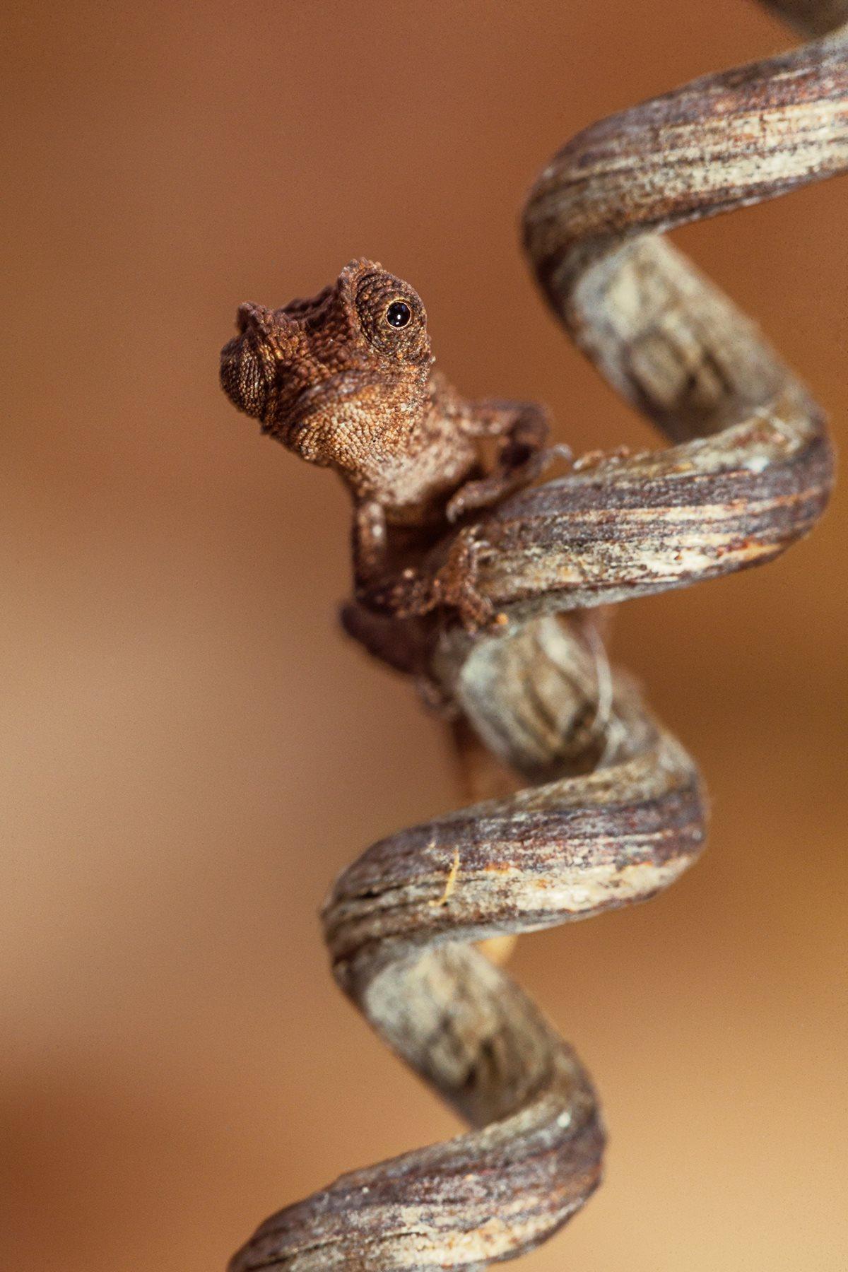 Brookesia micra es el camaleón más pequeño del mundo.