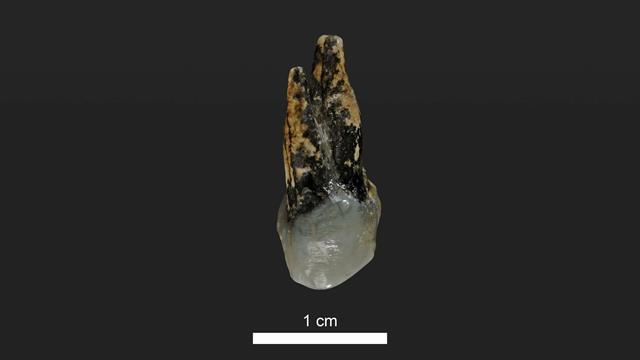Este molar encontrado en Bulgaria estuvo en la boca de un homínido hace 7,24 millones de años. Foto: Universidad de Tubinga