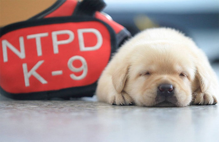 puppy-k-9-police-dogs-taiwan-police-15-5941057b19823__700